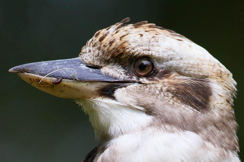 kookabura.jpg